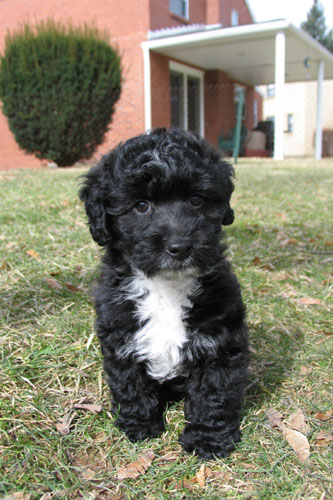 Jack Russell Poodle puppy on grass.