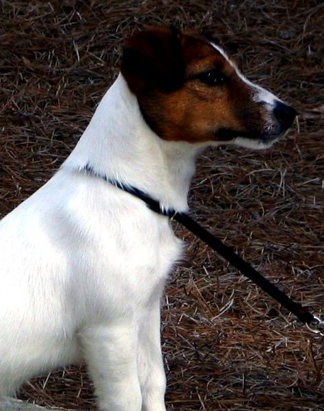 Jack Russell Terrier in profile