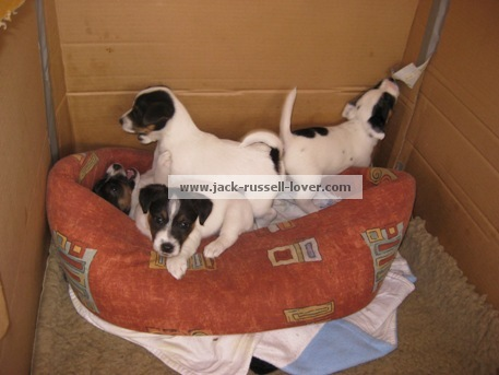 Jack Russell puppies in box