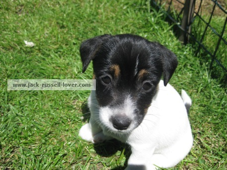 Cute Jack Russell puppy