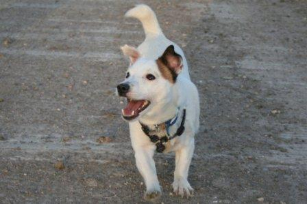 Excited Jack Russell