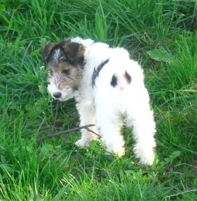 Fox Terrier wire hair puppy.