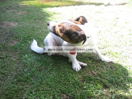 Itchy Jack Russell