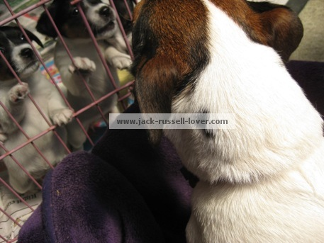 Jack Russell Bella with weaning puppies