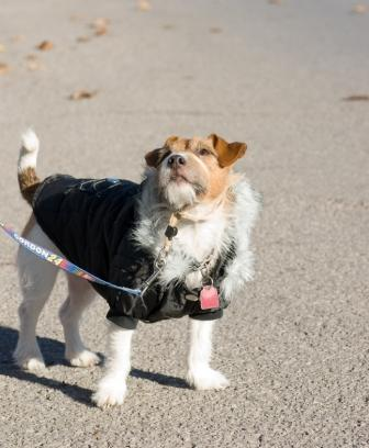 Jack Russell wearing clothes