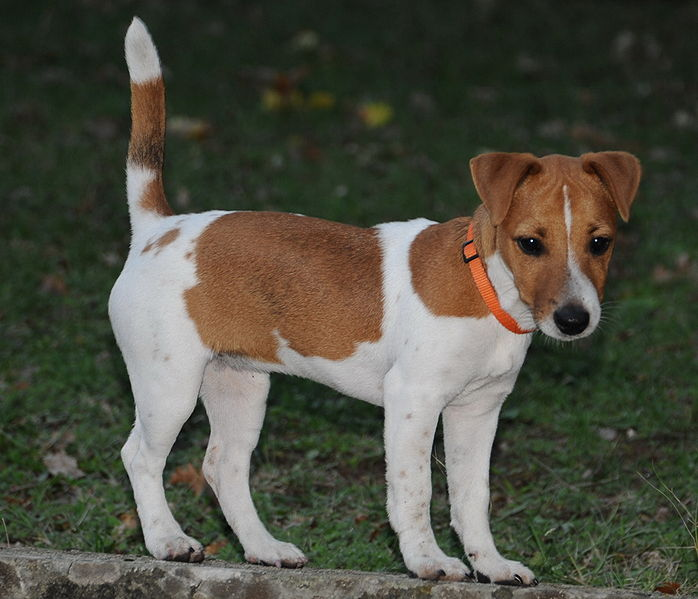 Jack Russell Terrier wearing collar