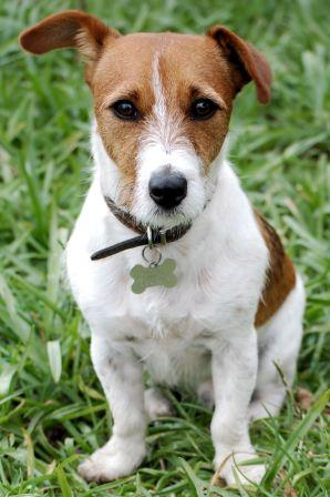 Jack Russell dog picture