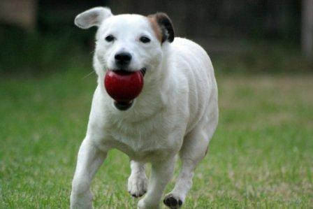 Jack Russell fetching red ball