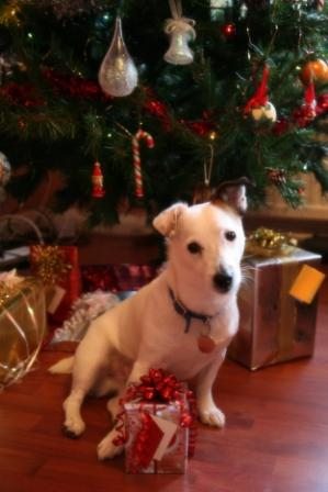 Jack Russell with Christmas gifts