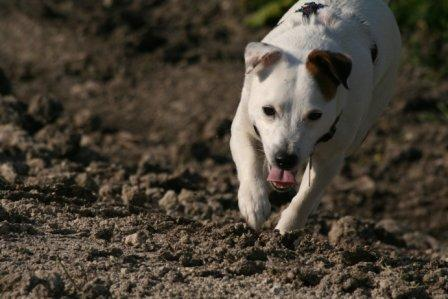 Jack Russell, hunting dog