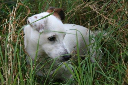 Jack Russell in long grass