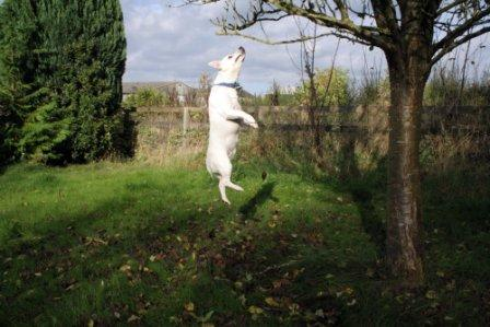 Jack Russell jumping