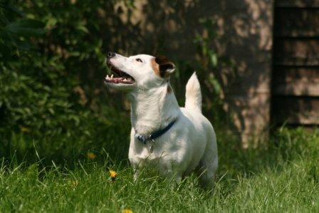 Jack Russell looking up