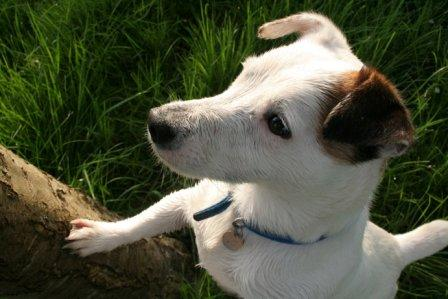 Jack Russell looking