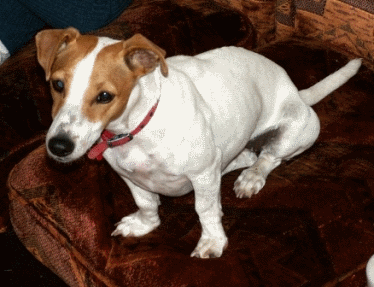 Jack Russell sitting on a couch