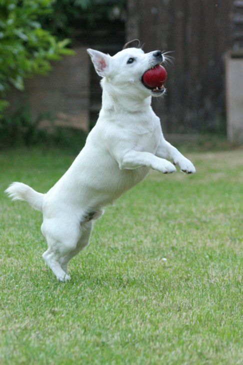 Jack Russell playing with a red ball