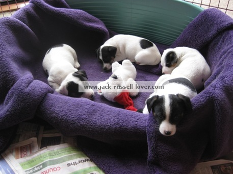 Jack Russell puppies asleep