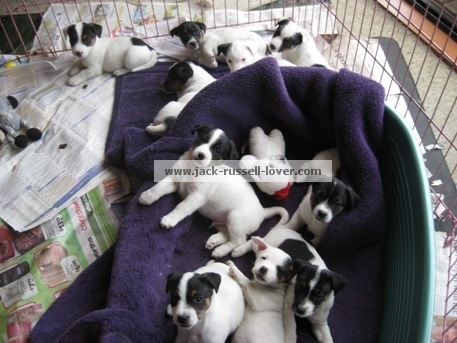 Jack Russell puppies in puppy pen