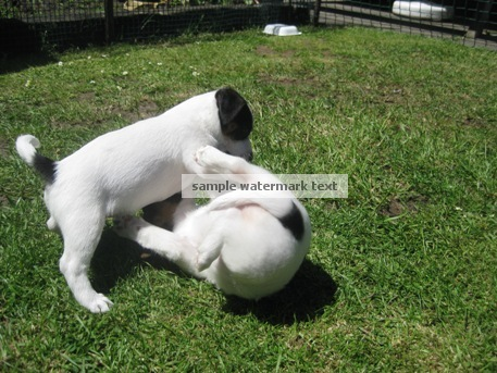 Jack Russell Puppies playing