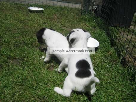Jack Russell Puppies playing on grass