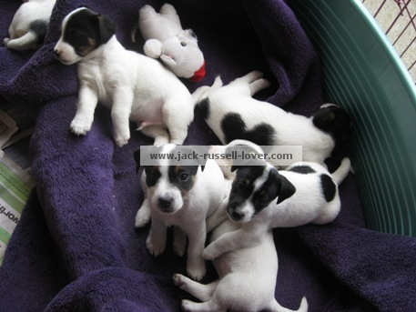Jack Russell puppies3