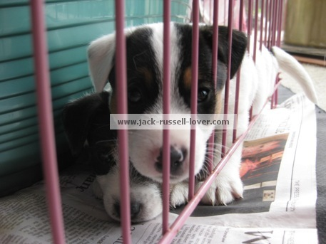 Jack Russell puppies4