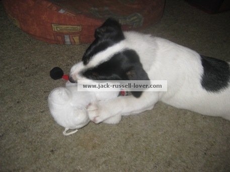 Jack Russell puppy killing Christmas