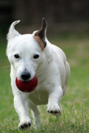 Jack Russell running with a ball
