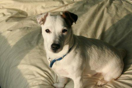 Jack Russell Terrier sitting on the bed