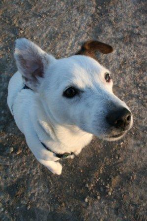 Jack Russell Terrier with bent ear