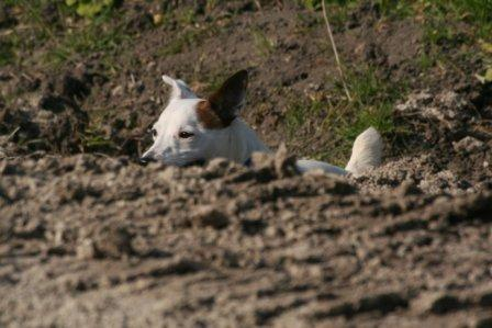 Jack Russell Terrier hunting