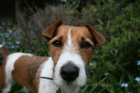 Jack Russell Terrier muzzle
