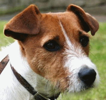 Jack Russell Terrier photo