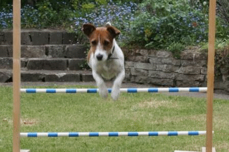 Jack Russell training to jump hurdles.