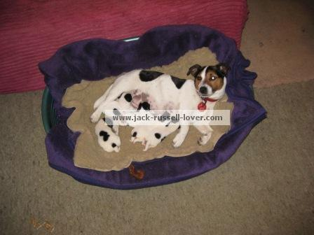 Jack Russell mother feeding her puppies