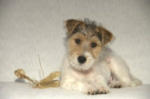 Rough coat Parson Terrier puppy.