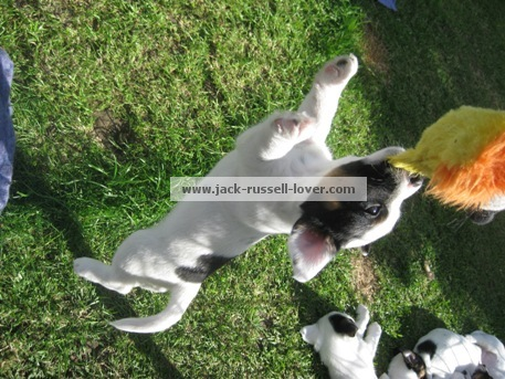 Puppy games - playing tug of war.