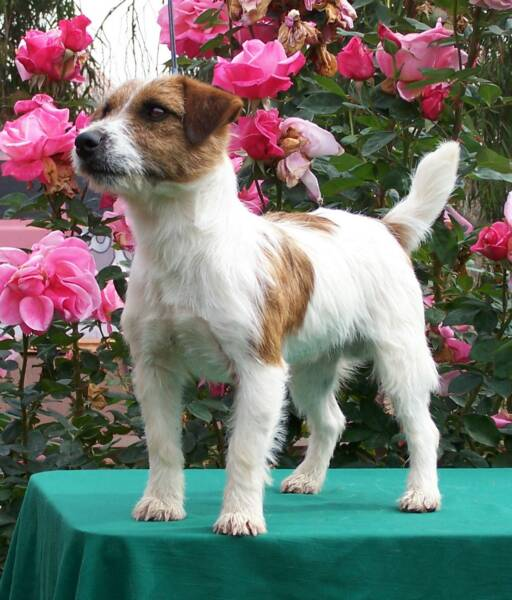 Jack Russell Terrier show dog