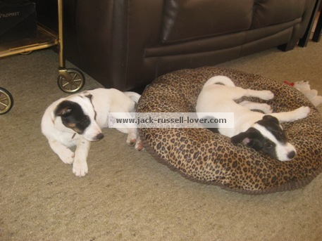 Two Jack Russell puppies sleeping