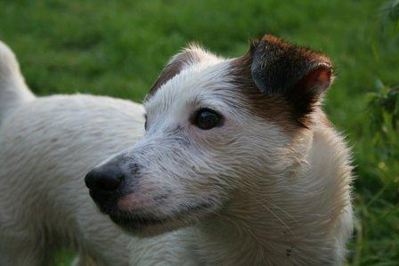 Wet Jack Russell Terrier