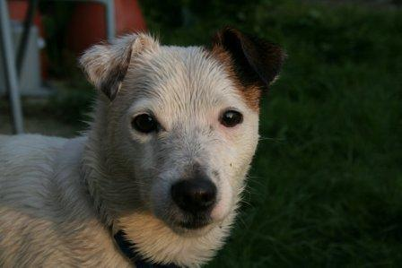Wet Jack Russell