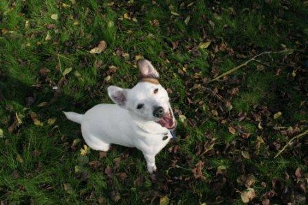 White Jack Russell looking