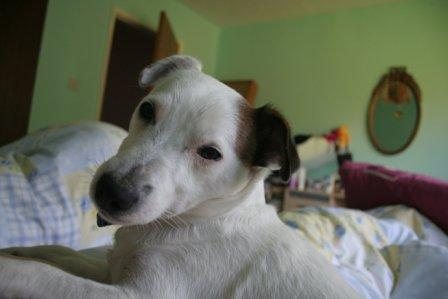 White Jack Russell on bed