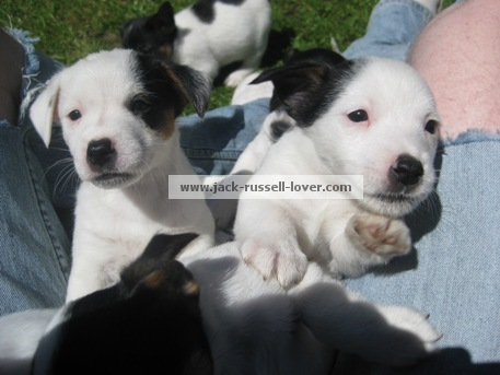 White Jack Russell Puppies