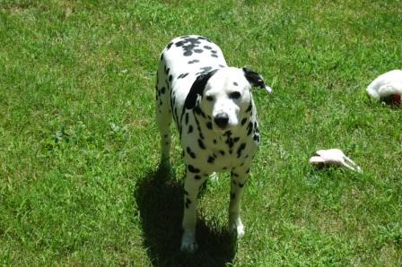 Dalmatian with toy