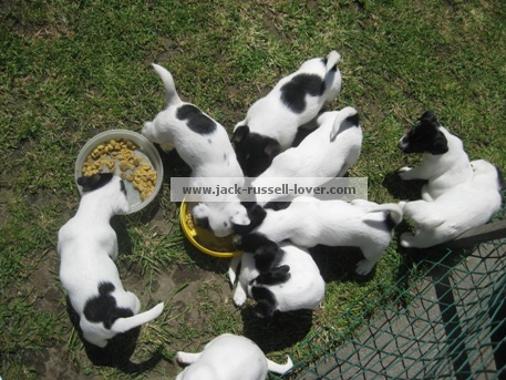 Feeding Jack Russell puppies.