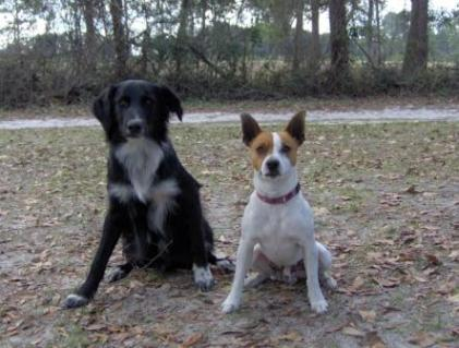 Jack Russell with other dog.