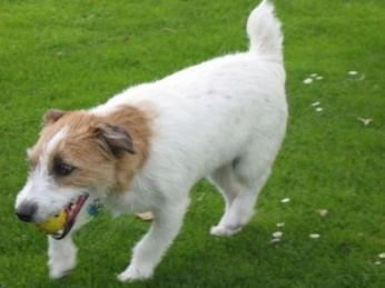 Jack Russell fetching a yellow ball