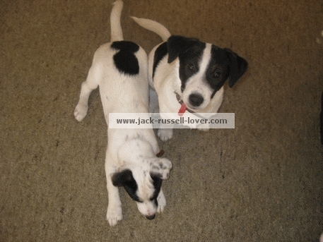 Two Jack Russell Terrier puppies training