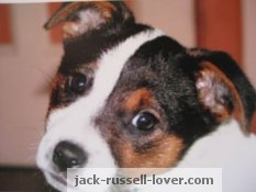 Jack Russell puppy photo